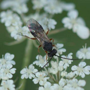 Chelonus sp. (Brackwespe)