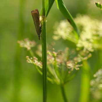 Chrysoteuchia culmella (Rispengraszünsler)