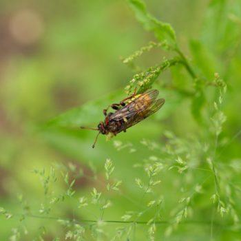 Cimbex sp. (Keulhornblattwespe)