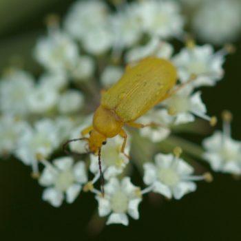 Cteniopus flavus (Schwefelkäfer)