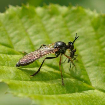 Dioctria hyalipennis (Gemeine Habichtsfliege)