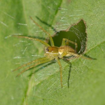 Dolomedes fimbriatus/plantarius (Jagdspinne)