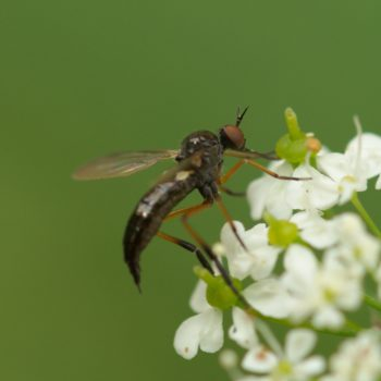 Empis nigritarsis (Tanzfliege)