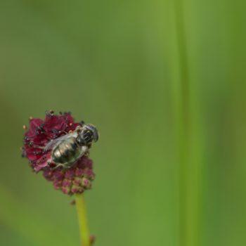 Eristalinus sepulchralis (Schwarze Augenfleck-Schwebfliege)