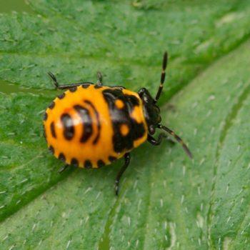 Eurydema cf. dominula (Zierliche Gemüsewanze)