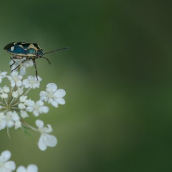Eurydema oleracea (Kohlwanze)
