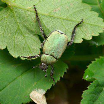 Hoplia argentea (Goldstaub-Laubkäfer)