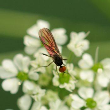 Hybos sp. (Buckeltanzfliege)