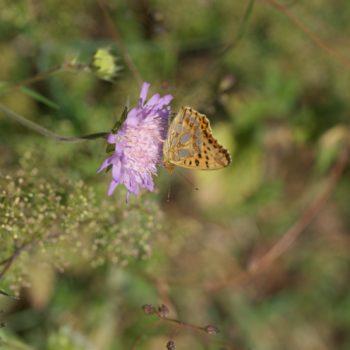 Issoria lathonia (Kleiner Perlmuttfalter)