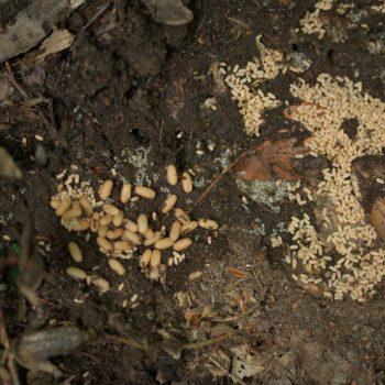 Lasius niger (Schwarze Wegameise)
