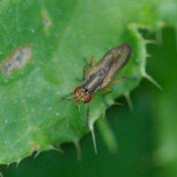 Limnia unguicornis (Hornfliege)