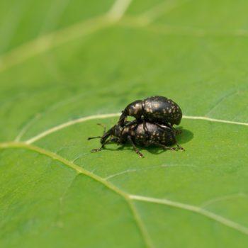Liparus glabrirostris (Großer Pestwurzrüssler)