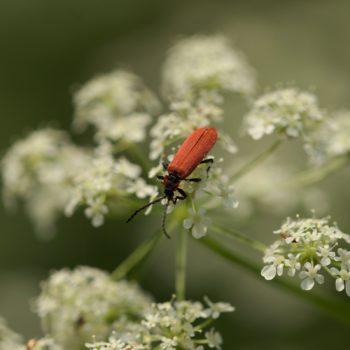 Lygistopterus sanguineus (Rüssel-Rotdeckenkäfer)