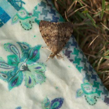 Lymantria dispar (Schwammspinner)