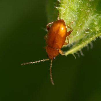 Neocrepidodera ferruginea (Rotbrauner Weizen-Erdfloh)