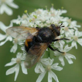 Nowickia ferox (Raupenfliege)