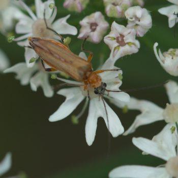 Oedemera podagrariae (Echter Schenkelkäfer)