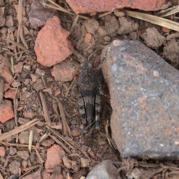 Oedipoda caerulescens (Blauflügelige Ödlandschrecke)