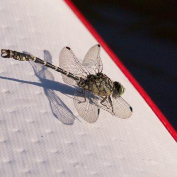Onychogomphus forcipatus forcipatus (Kleine Zangenlibelle)