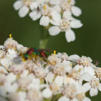 Cecidomyiidae sp. (Gallmücken)