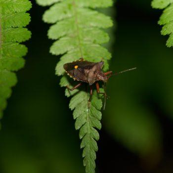 Pentatoma rufipes (Rotbeinige Baumwanze)