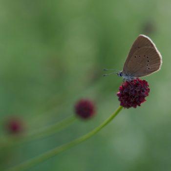 Phengaris nausithous (Dunkler Wiesenknopf-Ameisenbläuling)