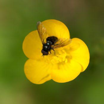 Pipiza quadrimaculata (Vierfleck-Waldrandschwebfliege)