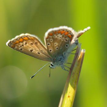 Polyommatus icarus (Hauhechel-Bläuling)