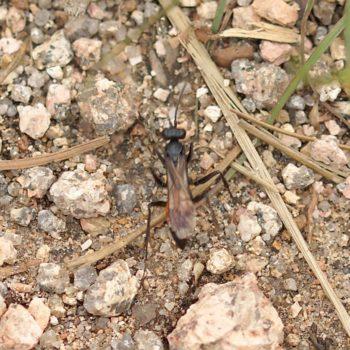Pompilidae sp. (Wegwespe)