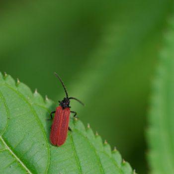 Pyropterus nigroruber (Rotdeckenkäfer)
