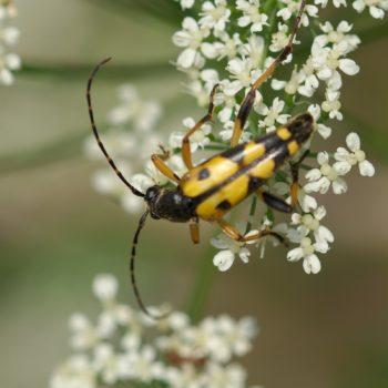 Rutpela maculata (Gefleckter Schmalbock)