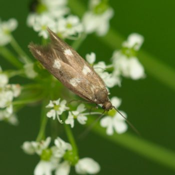 Scythris scopolella (Ziermotte)