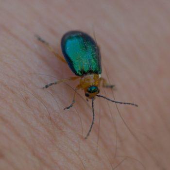 Sermylassa halensis (Hallescher Blattkäfer)