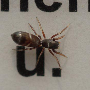 Synageles venator (Schlanker Ameisenspringer)