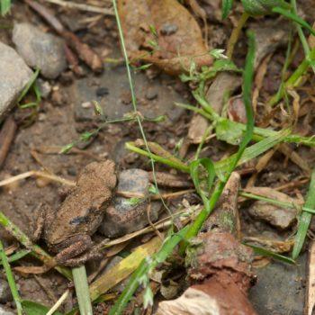 Bufo bufo (Erdkröte)