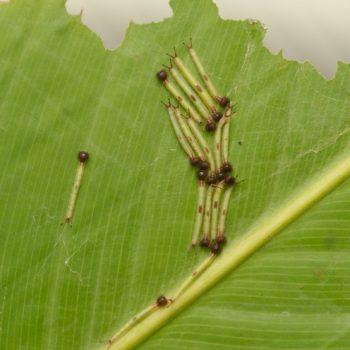 Caligo sp. (Bananenfalter)