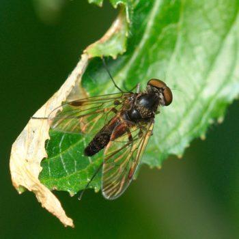 Chrysopilus cristatus (Kronen-Schnepfenfliege)
