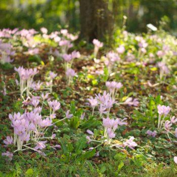 Colchicum autumnale (Herbst-Zeitlose)