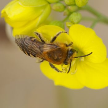 Colletes sp. (Seidenbiene) - Holland