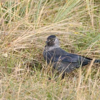 Corvus monedula (Dohle)