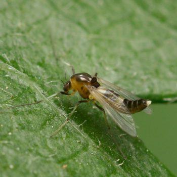 Cricotopus sp. (Zuckmücke)