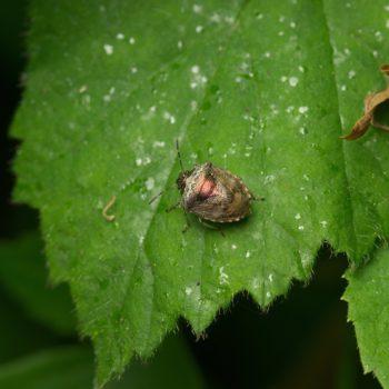 Eysarcoris venustissimus (Schillerwanze)