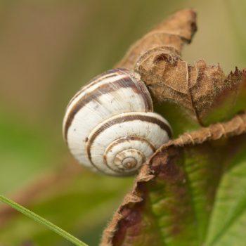 Helicella itala (Gemeine Heideschnecke)