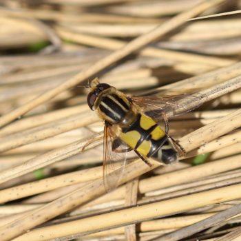 Helophilus trivittatus (Große Sumpfschwebfliege)