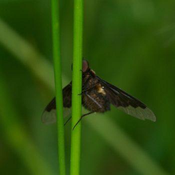 Hemipenthes morio (Trauerschweber)