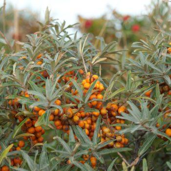 Hippophae rhamnoides (Sanddorn)