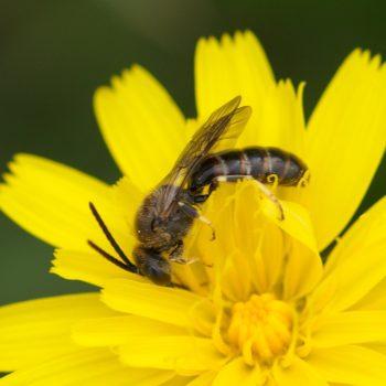 Lasioglossum sp. (Schmalbiene) - Holland