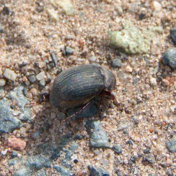 Maladera holosericea (Dunkler Seidenkäfer)