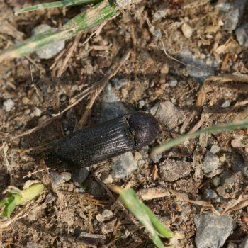 Melanotus punctolineatus (Schnellkäfer)