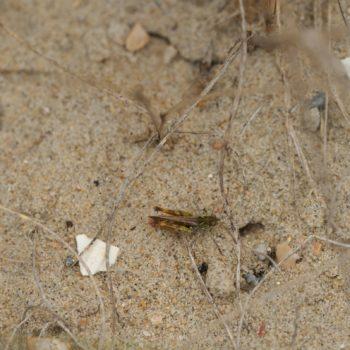 Myrmeleotettix maculatus (Gefleckte Keulenschrecke)